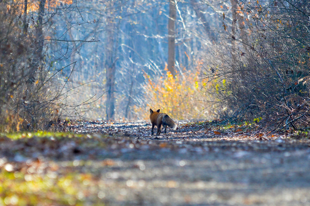 Retreating Fox