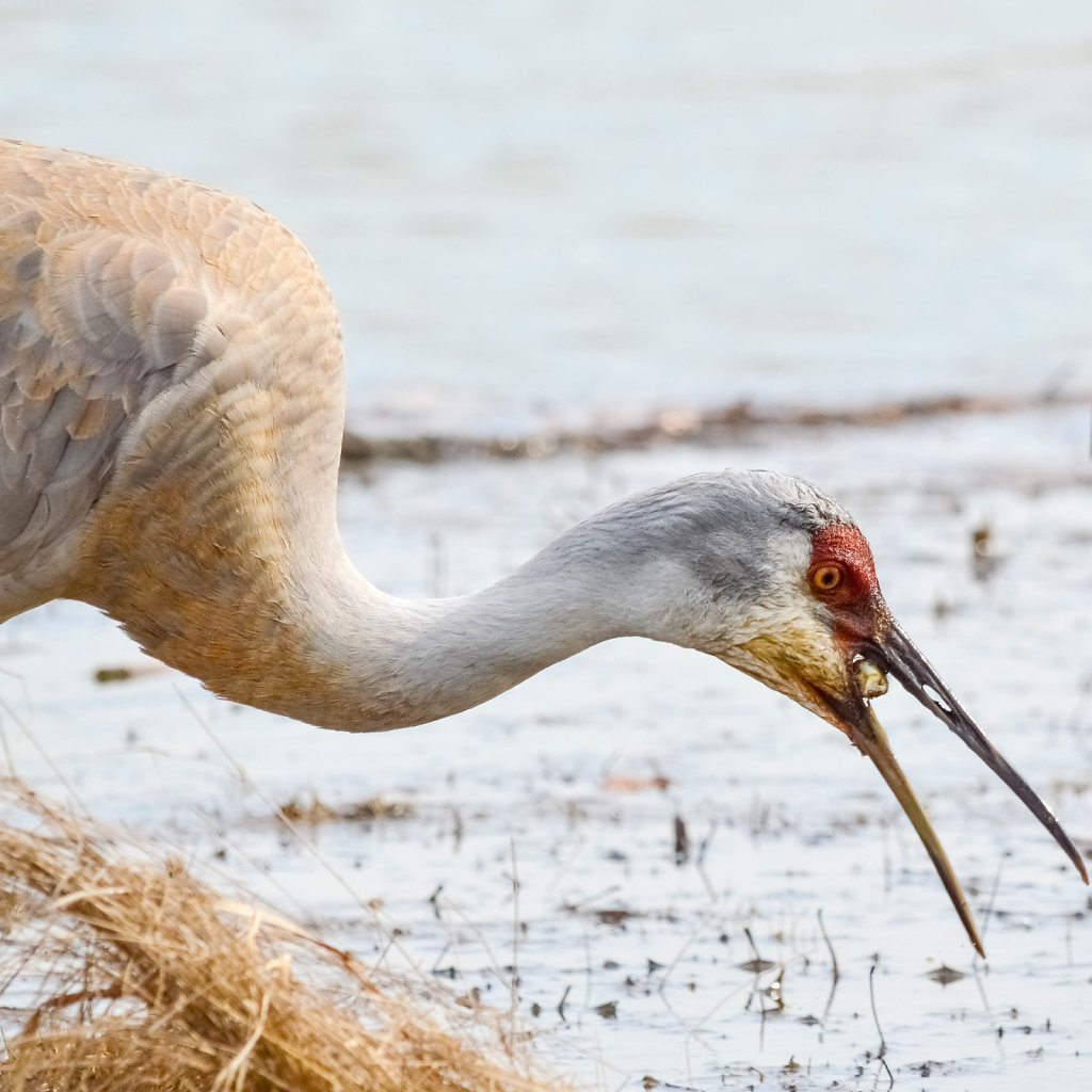 Sandhill Crane and His Lunch
