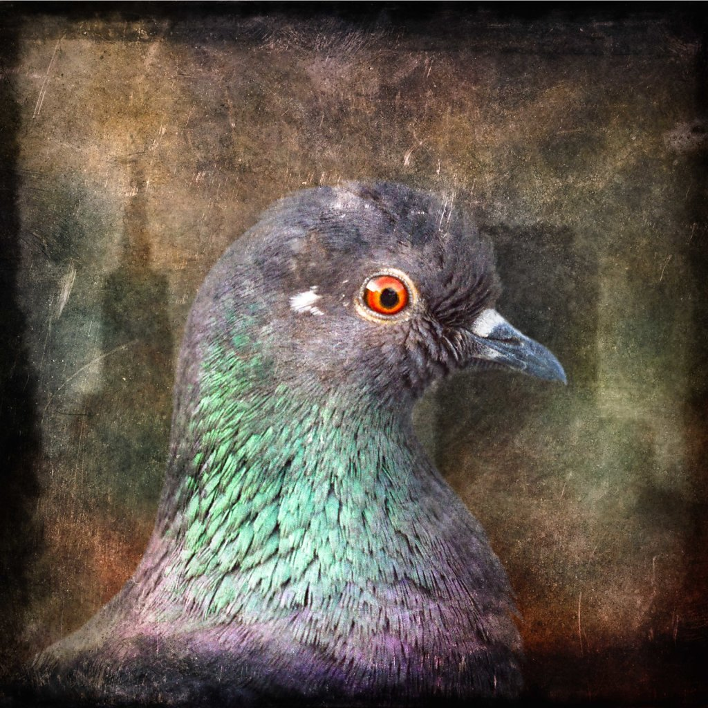 San Francisco Pigeon